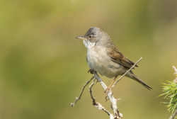 Whitethroat photographed at Fort Le Marchant [MAR] on 20/6/2013. Photo: © Anthony Loaring