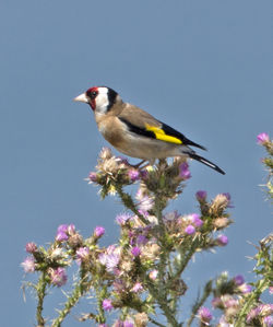 Goldfinch photographed at Fort Hommet [HOM] on 24/6/2013. Photo: © Mike Cunningham