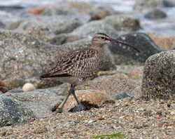 Whimbrel photographed at Herm [HER] on 6/6/2013. Photo: © Robert Atkinson