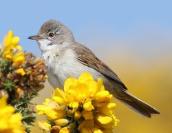 Whitethroat photographed at L'Ancresse Common on 4/6/2013. Photo: © Robert Atkinson