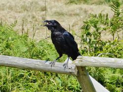 Raven photographed at Mt. Herault [MHE] on 8/7/2013. Photo: © Tracey Henry