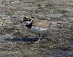 Little Ringed Plover photographed at Claire Mare [CLA] on 12/7/2013. Photo: © Mike Cunningham