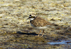 Little Ringed Plover photographed at Claire Mare [CLA] on 12/7/2013. Photo: © Anthony Loaring