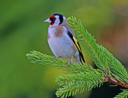 Goldfinch photographed at St Peter Port [SPP] on 19/7/2013. Photo: © Mike Cunningham
