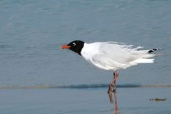 Mediterranean Gull photographed at Cobo [COB] on 21/7/2013. Photo: © Mark Guppy