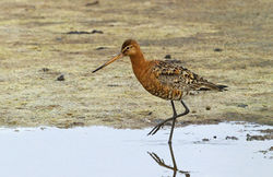 Black-tailed Godwit photographed at Claire Mare [CLA] on 22/7/2013. Photo: © Anthony Loaring