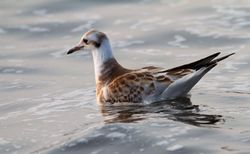 Black-headed Gull photographed at L'Eree [LER] on 22/7/2013. Photo: © Vic Froome