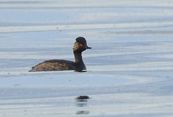Black-necked Grebe photographed at Vazon on 25/7/2013. Photo: © Anthony Loaring