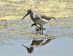 Green Sandpiper photographed at Claire Mare [CLA] on 24/7/2013. Photo: © Mike Cunningham