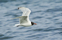 Mediterranean Gull photographed at Cobo [COB] on 27/7/2013. Photo: © Anthony Loaring
