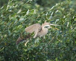 Purple Heron photographed at Rue des Bergers [BER] on 29/7/2013. Photo: © Royston Carr�
