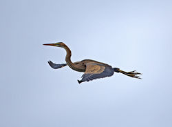 Purple Heron photographed at Rue des Bergers [BER] on 29/7/2013. Photo: © Mike Cunningham
