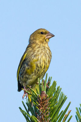 Greenfinch photographed at Fort Hommet [HOM] on 8/8/2013. Photo: © Rod Ferbrache