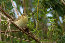 Willow Warbler photographed at Pleinmont [PLE] on 10/8/2013. Photo: © Rod Ferbrache