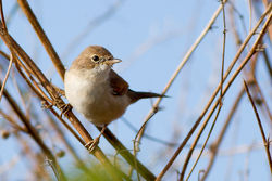 Whitethroat photographed at Pleinmont [PLE] on 10/8/2013. Photo: © Rod Ferbrache