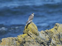 Peregrine photographed at West Coast [WES] on 12/8/2013. Photo: © Royston Carr�