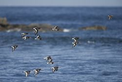 Oystercatcher photographed at Fort Le Crocq [FLC] on 13/8/2013. Photo: © Royston Carr�