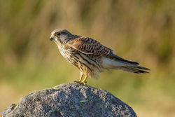 Kestrel photographed at Pecqueries [PEC] on 13/8/2013. Photo: © Rod Ferbrache