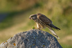 Kestrel photographed at Select location on 13/8/2013. Photo: © Rod Ferbrache