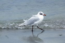 Mediterranean Gull photographed at Cobo [COB] on 17/8/2013. Photo: © Mark Guppy