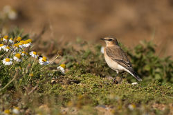 Wheatear photographed at Pleinmont [PLE] on 18/8/2013. Photo: © Rod Ferbrache