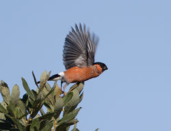 Bullfinch photographed at Rue des Bergers [BER] on 20/8/2013. Photo: © Mike Cunningham