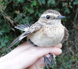 Whinchat photographed at Claire Mare [CLA] on 23/8/2013. Photo: © Michelle Hooper