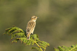 Whinchat photographed at Fort Le Marchant [MAR] on 26/8/2013. Photo: © Anthony Loaring