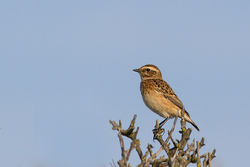 Whinchat photographed at Fort Le Marchant [MAR] on 28/8/2013. Photo: © Rod Ferbrache