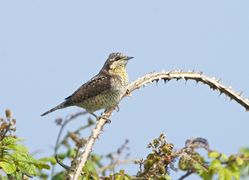 Wryneck photographed at Fort Le Marchant [MAR] on 29/8/2013. Photo: © Royston Carr�