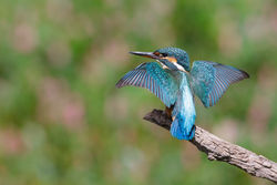 Kingfisher photographed at Reservoir [RES] on 31/8/2013. Photo: © steve levrier
