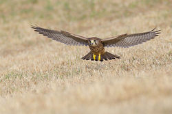 Kestrel photographed at Pleinmont [PLE] on 26/7/2013. Photo: © steve levrier