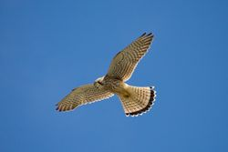 Kestrel photographed at Rocquaine [ROC] on 2/9/2013. Photo: © Jay Friend