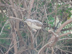 Wryneck photographed at Rocquaine [ROC] on 4/9/2013. Photo: © Steve and Hilary Wild