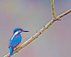 Kingfisher photographed at Rue des Bergers [BER] on 4/9/2013. Photo: © Mike Cunningham
