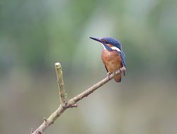 Kingfisher photographed at Rue des Bergers [BER] on 4/9/2013. Photo: © Royston Carr�