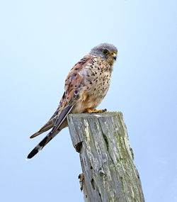 Kestrel photographed at Chouet [CHO] on 6/9/2013. Photo: © Mike Cunningham
