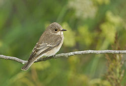 Spotted Flycatcher photographed at Vale Pond on 14/9/2013. Photo: © Anthony Loaring