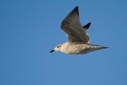 Herring Gull photographed at Jaonneuse [JAO] on 18/9/2013. Photo: © Vic Froome
