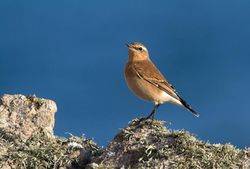 Wheatear photographed at Jaonneuse [JAO] on 20/9/2013. Photo: © Vic Froome