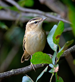 Sedge Warbler photographed at Rue des Bergers [BER] on 20/9/2013. Photo: © Mike Cunningham