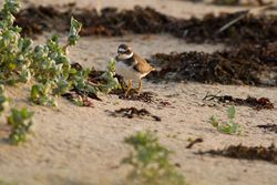 Ringed Plover photographed at Pecqueries [PEC] on 20/9/2013. Photo: © Rod Ferbrache