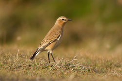 Wheatear photographed at Fort Doyle [DOY] on 20/9/2013. Photo: © Rod Ferbrache