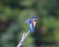Kingfisher photographed at Rue des Bergers [BER] on 21/9/2013. Photo: © Royston Carr�