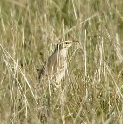 Tawny Pipit photographed at Creux Mahie, TOR [CRX] on 22/9/2013. Photo: © Anthony Loaring