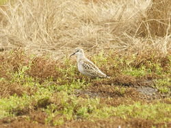 Little Stint photographed at Colin Best NR [CNR] on 23/9/2013. Photo: © Karen Jehan