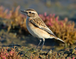 Whinchat photographed at Colin Best NR [CNR] on 23/9/2013. Photo: © Mike Cunningham