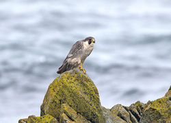 Peregrine photographed at West Coast [WES] on 23/9/2013. Photo: © Mike Cunningham
