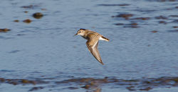 Little Stint photographed at Colin Best NR [CNR] on 23/9/2013. Photo: © Dan Scott