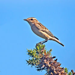 Whinchat photographed at Colin Best NR on 24/9/2013. Photo: © Mike Cunningham